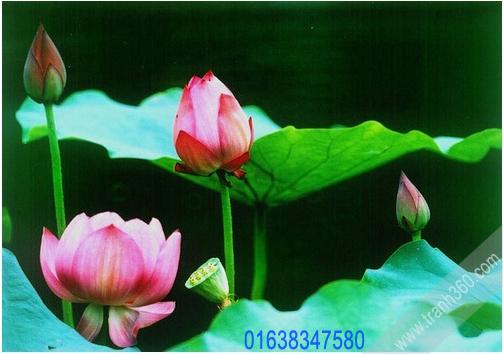 Tranh hoa sen đẹp